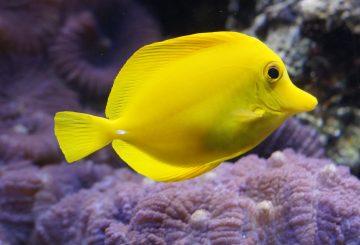 lemon-doktorfisch-793384_1280