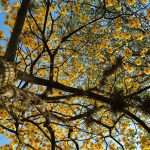 Árboles Celta, ¿qué son y cuál es el tuyo?